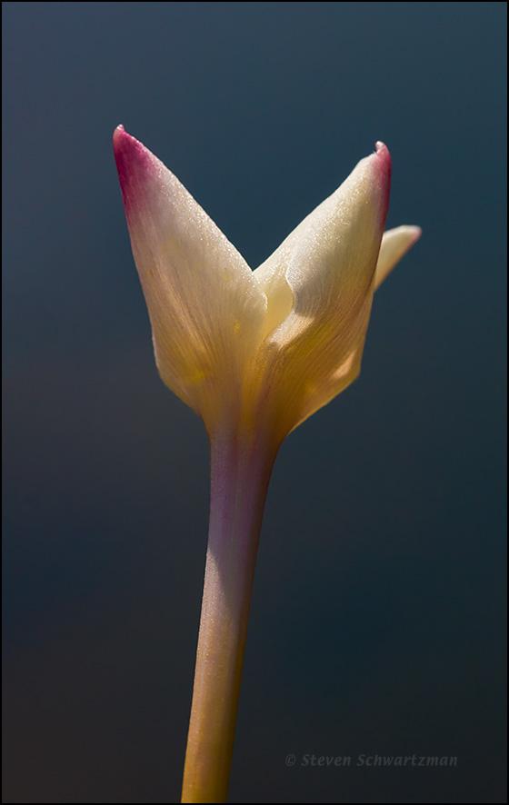 Rain-Lily by Pond 2323