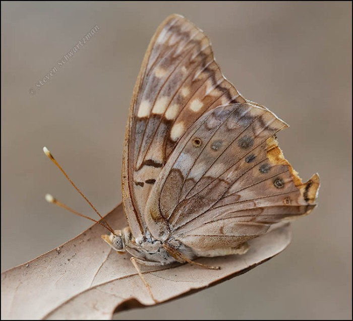 Tawny Emperor Butterfly Faded and Ailing 1598