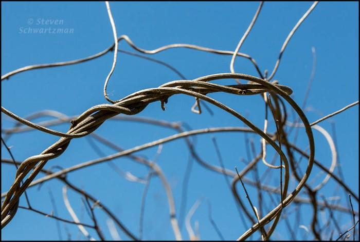 Alamo Vine Dry Strands 0121