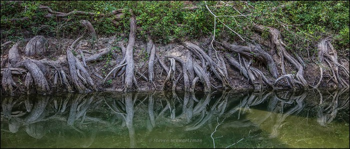 Bald Cypress Roots 6304