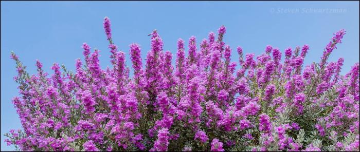 Cenizo Flowering 4042A