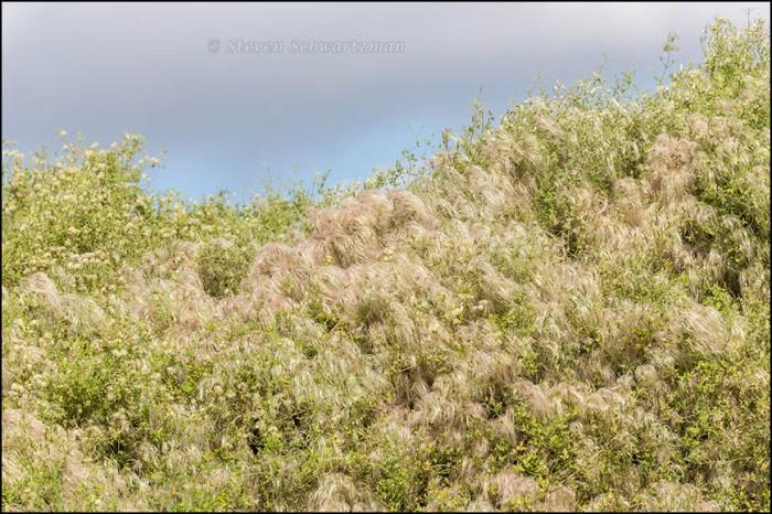 Clematis drummondii Mound 1337