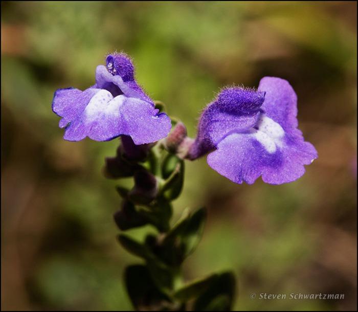 Drummond's Skullcap Flower 0761