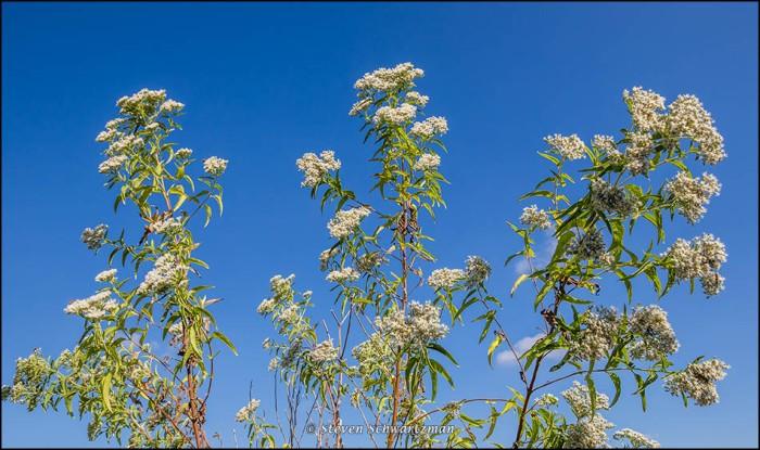 Eupatorium serotinum Flowering 6423