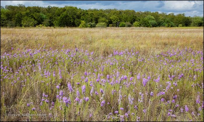 Flowering Liatris Colony Landscape 5832