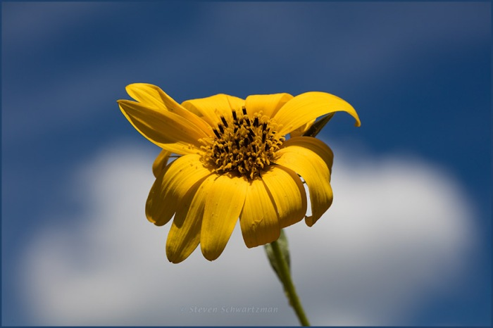 Maximilian Sunflower Flower Head and Cumulus Cloud 6345