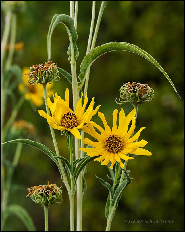Maximilian Sunflower Flower Heads 4940