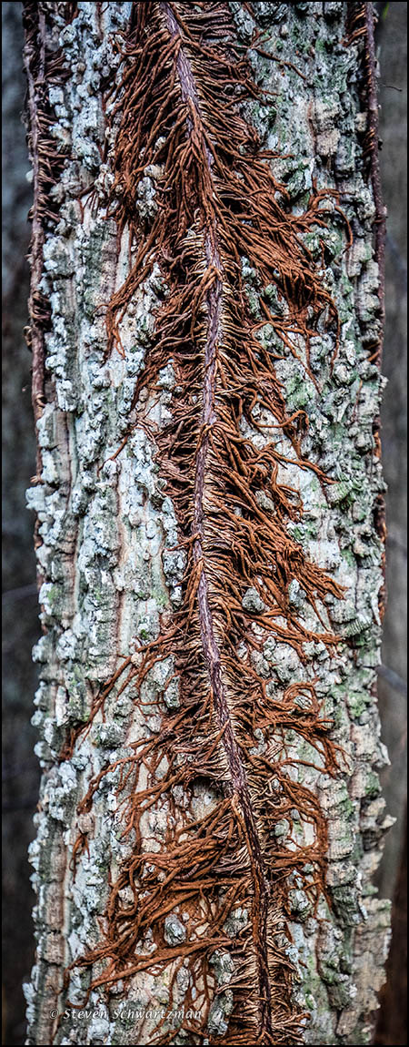 Poison Ivy Vine with Rootlets on Rough Bark 6266