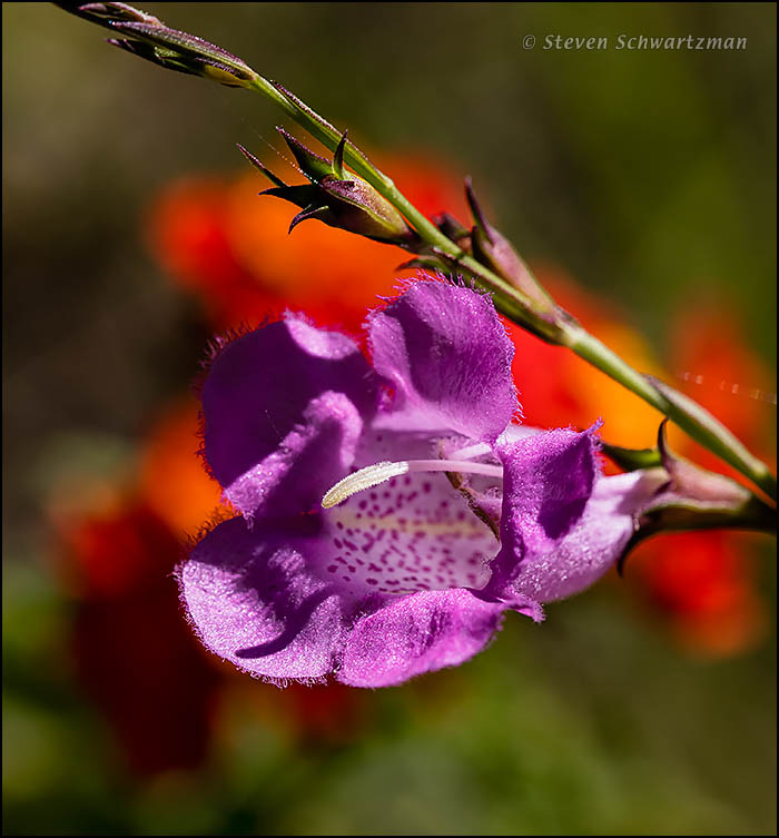 Prairie Agalinis Flower by Lantana Flowers 5062