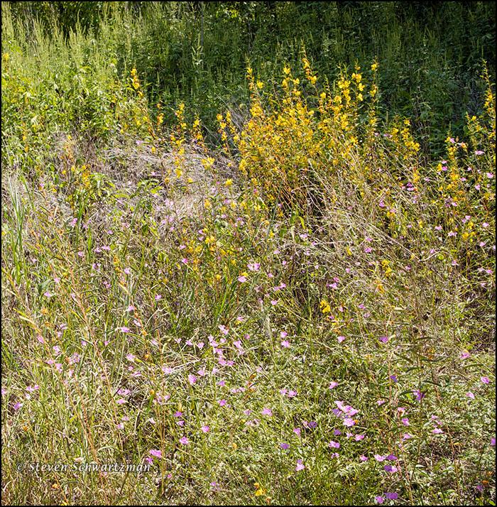 Prairie Agalinis, Partridge Pea, Giant Ragweed 6781A