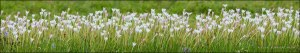 Rain-Lily Panorama 5735