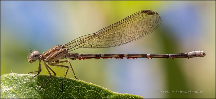 Tan Damselfly with Parasitic Mites 2276