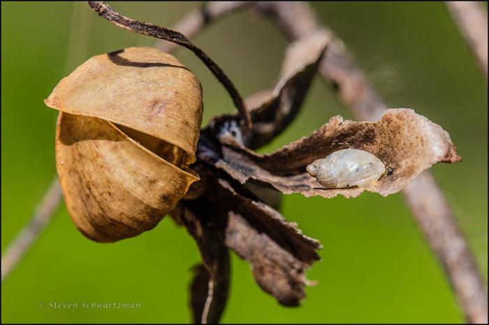 Tiny Snail on Alamo Vine Seed Capsule Remains 0067