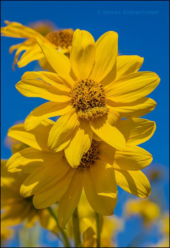 Camouflaged Larva on Maximilian Sunflower 8168