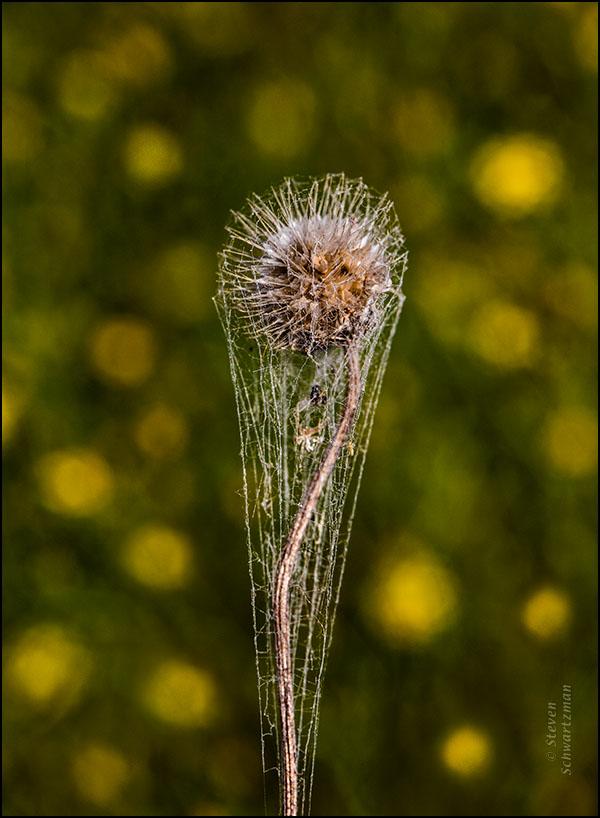 Firewheel Seed Head Remains Cobwebbed by Broomweed Flowers 7161