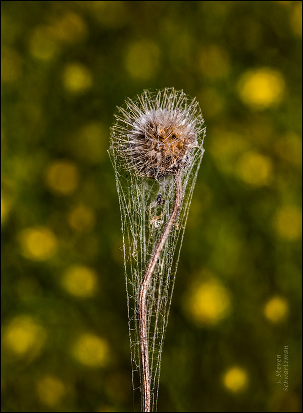 Firewheel Seed Head Remains Cobwebbed by Broomweed Flowers 7161