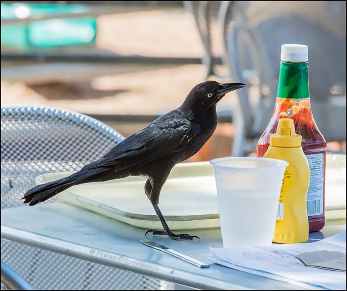Grackle with Ketchup and Mustard 6414