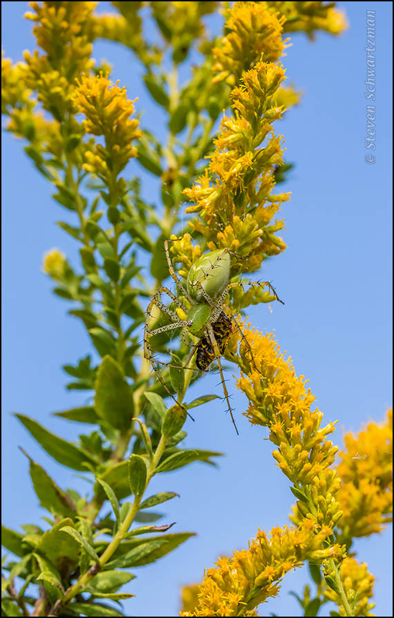 Green Lynx with Killed Bee on Goldenrod 6571