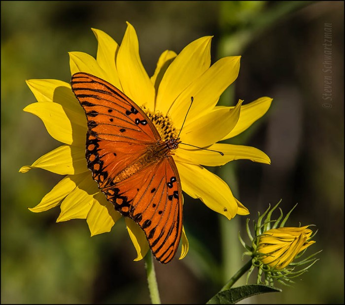 Gulf Fritillary Butterfly on Maximilian Sunflower 6972