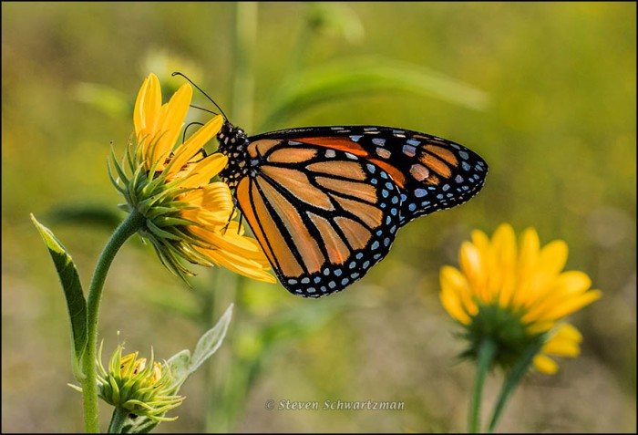 Monarch Butterfly on Maximilian Sunflowers 7119