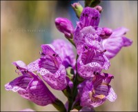 Physostegia Flowers 7355A