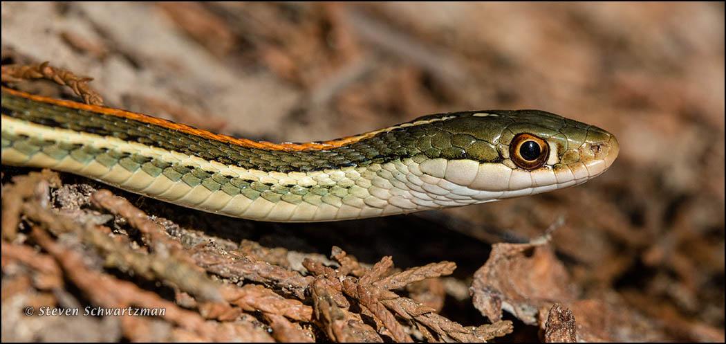 Ribbon Snake 7443