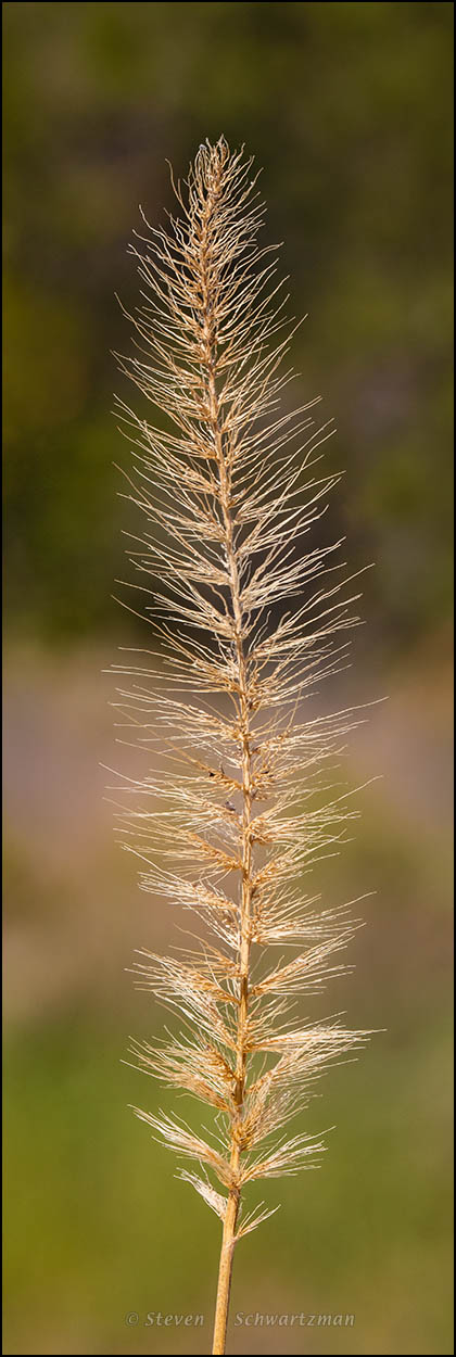 Southwestern Bristlegrass Seed Head 7396