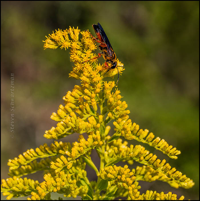 Black Flower Wasp From Australia: Wasp On Goldenrod Flowers