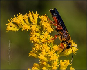Wasp on Goldenrod Flowers 6460A