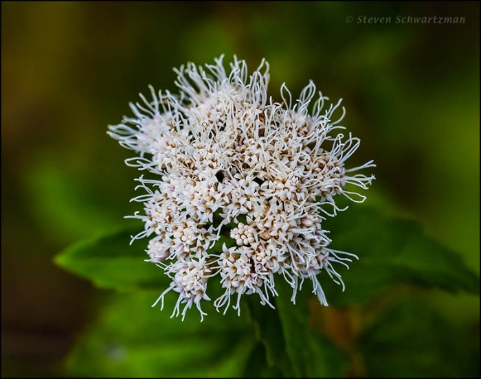 Ageratina havanensis Flowers 8854