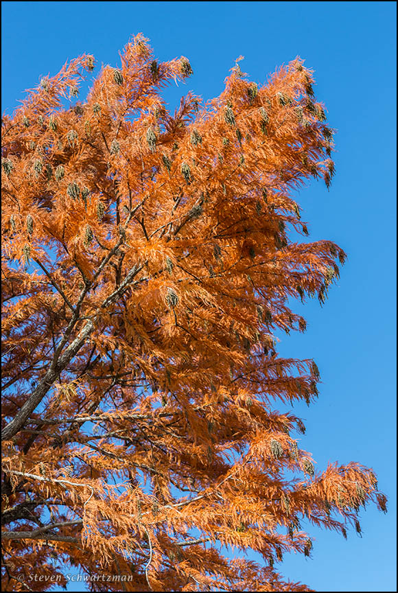 Bald Cypress Tree Turning Orange 8684