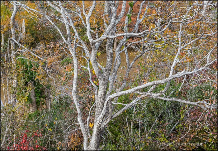 Bare Cedar Elm by More-Colorful Trees 8597