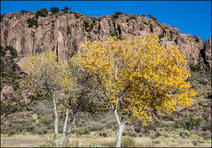 Cottonwood Trees Turning Yellow At Fort Davis Portraits Of Wildflowers
