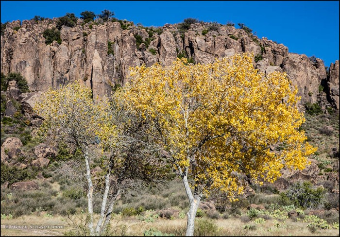 Cottonwood Trees Turning Yellow at Fort Davis 9239