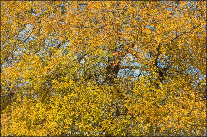 Dense Elm Leaves Turned Yellow 8786