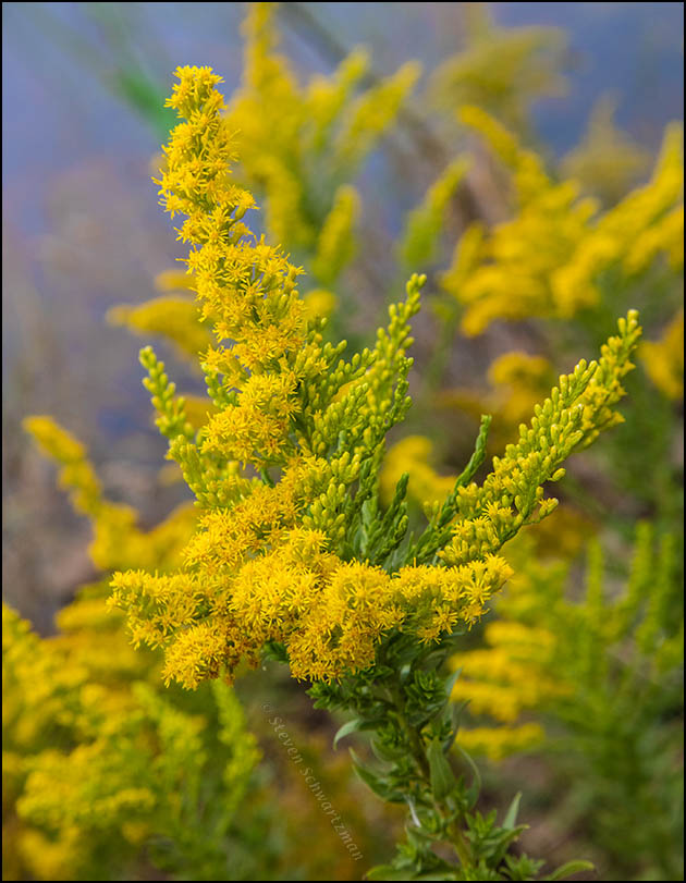 Goldenrod Densely Flowering 8916