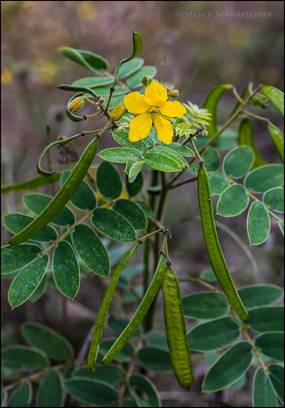 Lindheimer's Senna Flowers and Pods 8851
