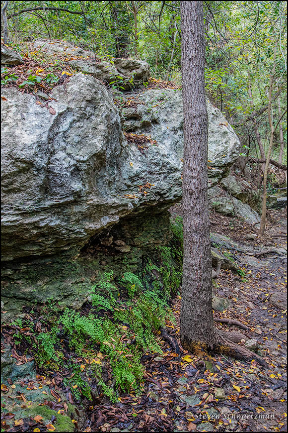 Maidenhair Ferns by Boulder and Tree 8889
