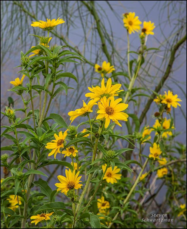 Maximilian Sunflowers by Paloverde 8936