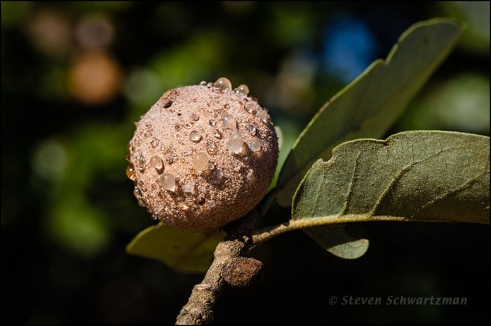 Oak Gall with Drops of Goo on It 7435
