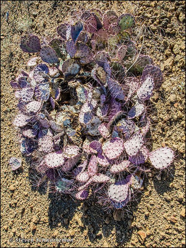 Purple Prickly Pear 9924