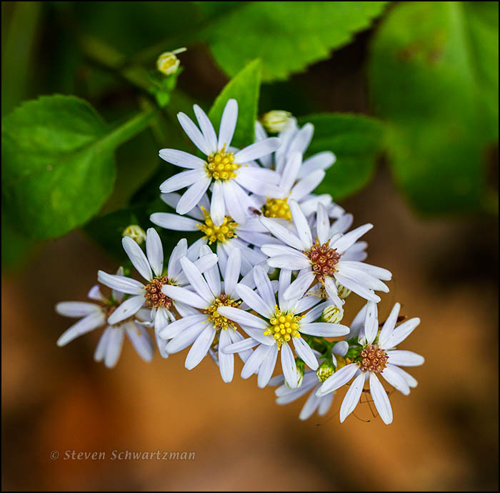 Triangle of Aster Flowers 8862
