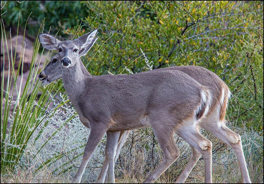 Two Deer 0336