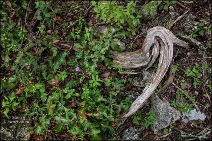 Wood Sorrel Flower in Oak Leaves by Contorted Ashe Juniper Remains 8892