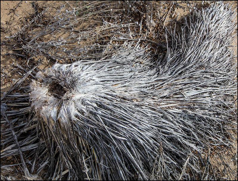 Yucca Stump Remains 0507