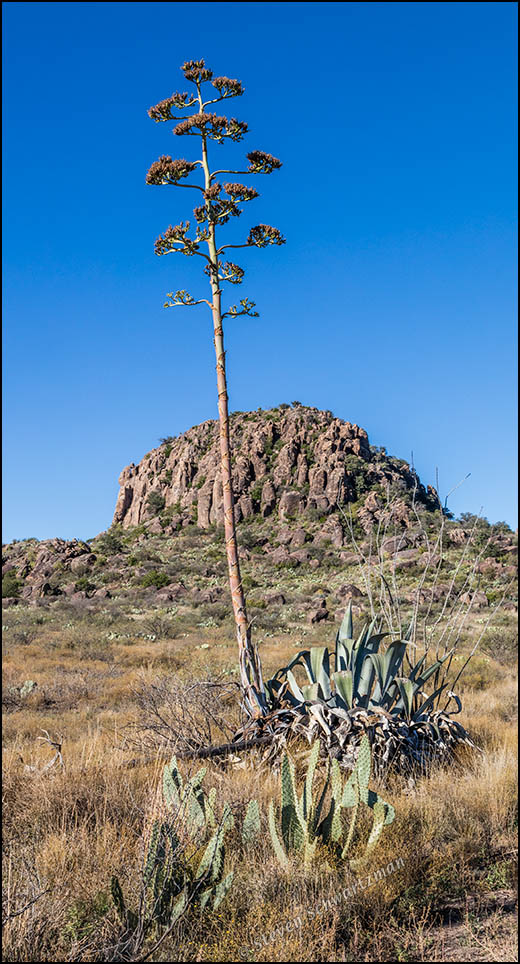 Agave with Seed Stalk by Rock Outcropping 9207