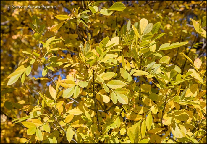 Arizona Ash Leaves Turned Yellow 9575