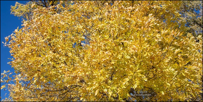 Arizona Ash Tree Turned Bright Yellow 9572