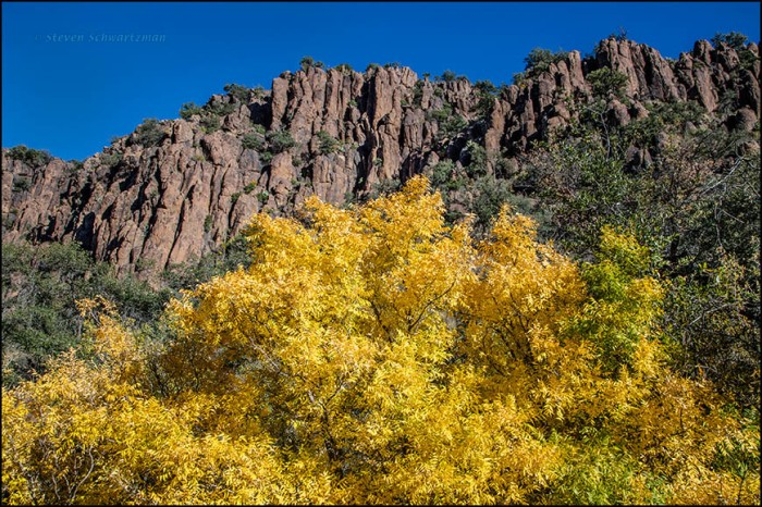 Arizona Ash Turned Yellow by Cliffs 9118