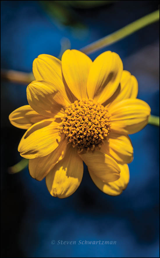 Bush Sunflower Flower Head 1258